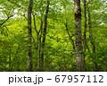 新緑の奥利根水源の森 新緑のブナ林 群馬県みなかみ町   67957112