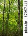 新緑の奥利根水源の森 新緑のブナ林 群馬県みなかみ町   67957113