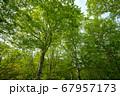 新緑の奥利根水源の森 新緑のブナ林 群馬県みなかみ町   67957173