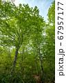 新緑の奥利根水源の森 新緑のブナ林 群馬県みなかみ町   67957177
