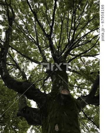 梅雨の時期に幹に鮮やかな緑のコケが生えた公園の樹木 67958166