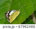 ナミエシロチョウ The Lesser Albatross 浪江白蝶 Appias paulina 67962466