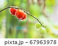 朝露に濡れるミニトマト 67963978