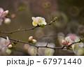 木瓜の花、ボケ 67971440