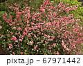 木瓜の花、ボケ 67971442