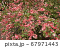 木瓜の花、ボケ 67971443