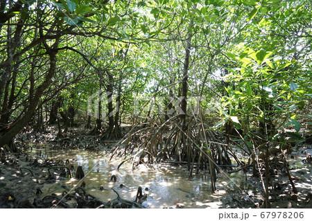 マングローブ林は、まるでジャングル。汽水域の植物 67978206