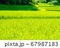 田んぼを眺める 67987183