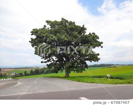 セブンスターの木(北海道美瑛町) 67987407