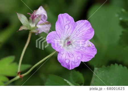 風景自然植物写真 八幡平国立公園の雨上がりの高山植物ハクサンフウロ 68001625