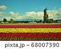 カナダバンクーバー近郊の広大な土地一面に広がるチューリップ畑の春 68007390