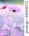 ピンク色のかわいいコスモス 68008171