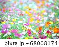 カラフルなコスモス 68008174