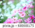 ピンクとホワイトのコスモス 68008175