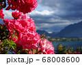 ニュージーランドのバラ 68008600