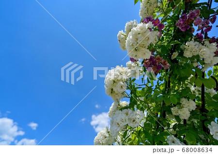 青空バックに見上げる満開の白バラ 68008634