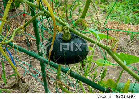 家庭菜園におけるボッチャンカボチャの栽培 68014397
