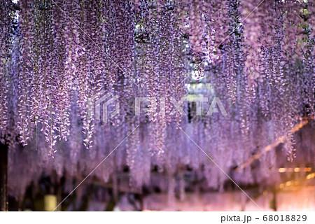 福岡県の天然記念物の黒木の大藤での藤棚ライトアップ 68018829