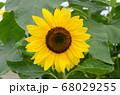 ヒマワリの花_クローズアップ 68029255
