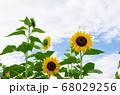 ヒマワリと夏の空 68029256
