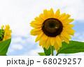 ヒマワリの花とミツバチ 68029257