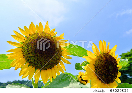 夏の日差しに照らされる元気なひまわり 68029335