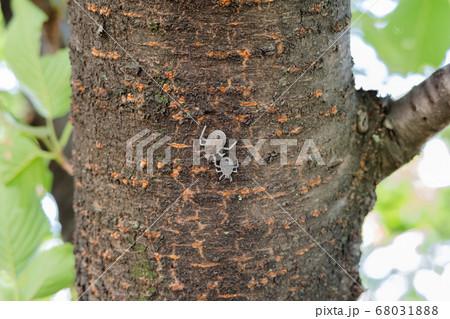 桜の木に張り付く、オレンジの斑点が綺麗な2匹のキマダラカメムシの幼虫 68031888