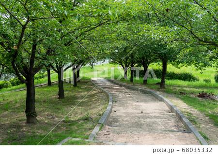 初夏の日差しを受けた、桜並木の緑のトンネルロード 68035332