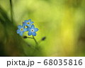 Blue meadow flowers close-up 68035816