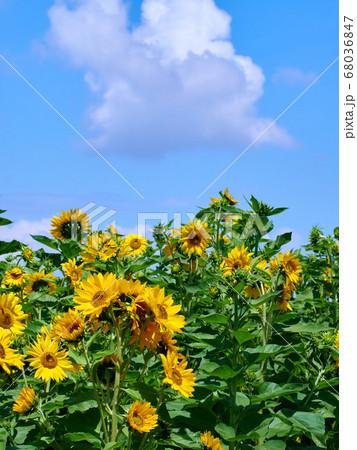 快晴の青空と雲を背景に映える真夏のひまわり 68036847