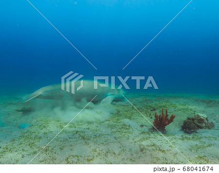 Dugong (sea cow) eating sea grass at sand bottom 68041674