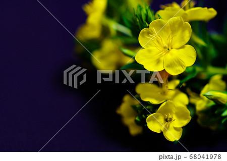 夏の夜に咲く待宵草(月見草とされることも多い,どちらもマツヨイグサ属) 68041978