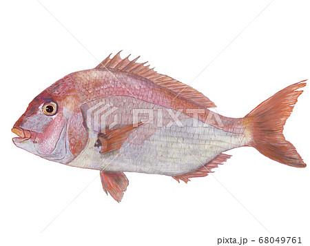 鯛のイラスト 68049761