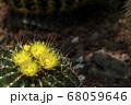 市川市の観賞植物園でサボテンの花が咲きました(1) 68059646