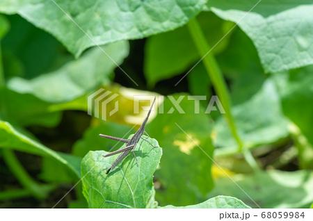 ショウリョウバッタの幼虫(褐色型) 68059984