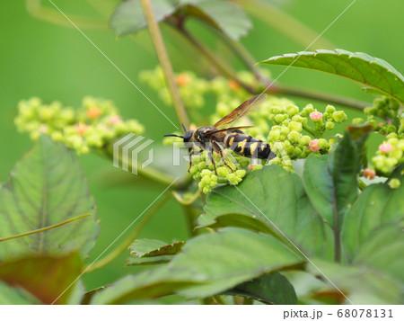 ヤブカラシの蜜を吸うコモンツチバチの雌 68078131