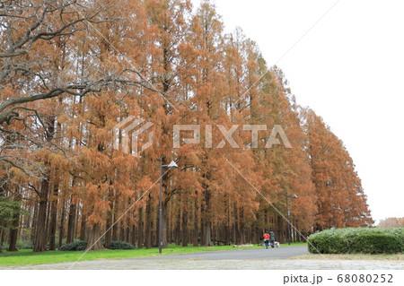 東京都葛飾区水元公園の黄葉したメタセコイアの林 68080252