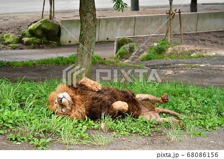 気持ちよさそうにごろ寝するライオンさん 68086156