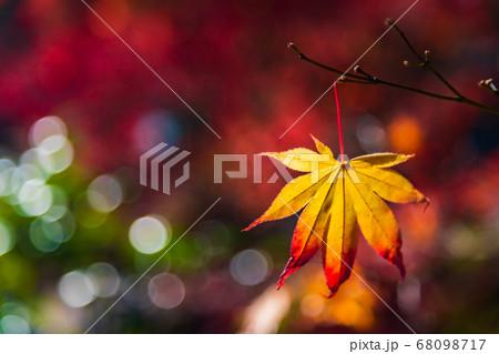 キラキラと輝く紅葉 68098717