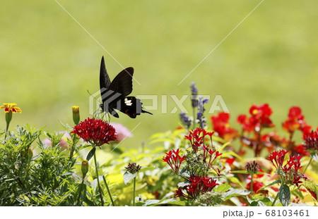 夏の草花たちとモンキアゲハ蝶 68103461