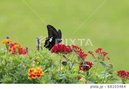 夏の草花たちとモンキアゲハ蝶 68103464