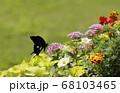 夏の草花たちとモンキアゲハ蝶 68103465