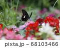 夏の草花たちとモンキアゲハ蝶 68103466