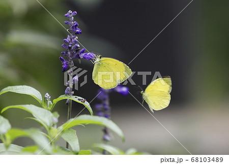 紫色の花に止まる、飛んでる、2匹のモンキチョウ 68103489