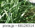 オオシオカラトンボ 68126314