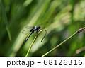 オオシオカラトンボ 68126316