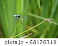 オオシオカラトンボ 68126319