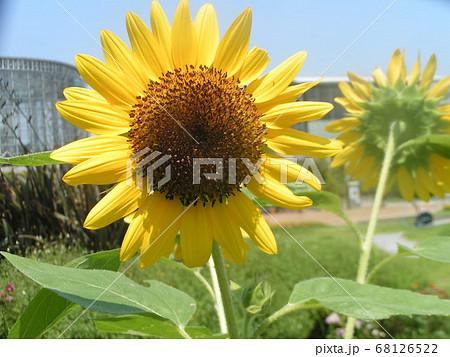 夏の花といえば黄色いヒマワリ 68126522