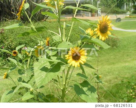 夏の花といえば黄色いヒマワリ 68126531