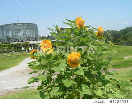 夏の花といえば黄色いヒマワリ 68126533